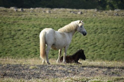 Hevosia on paljon!