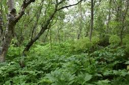 metsissä ja puron varsilla paljon Väinönputkea