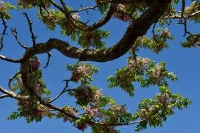 syreenintuoksuinen puu