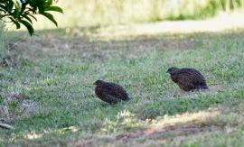 Brown quail eli Coturnix ypsilophora eli suoviiriäinen