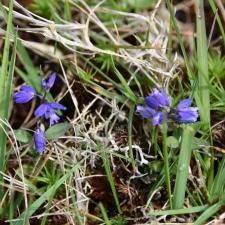 Nummilinnunruoho, sitä kasvaa varsinkin vuorilla sinisenään